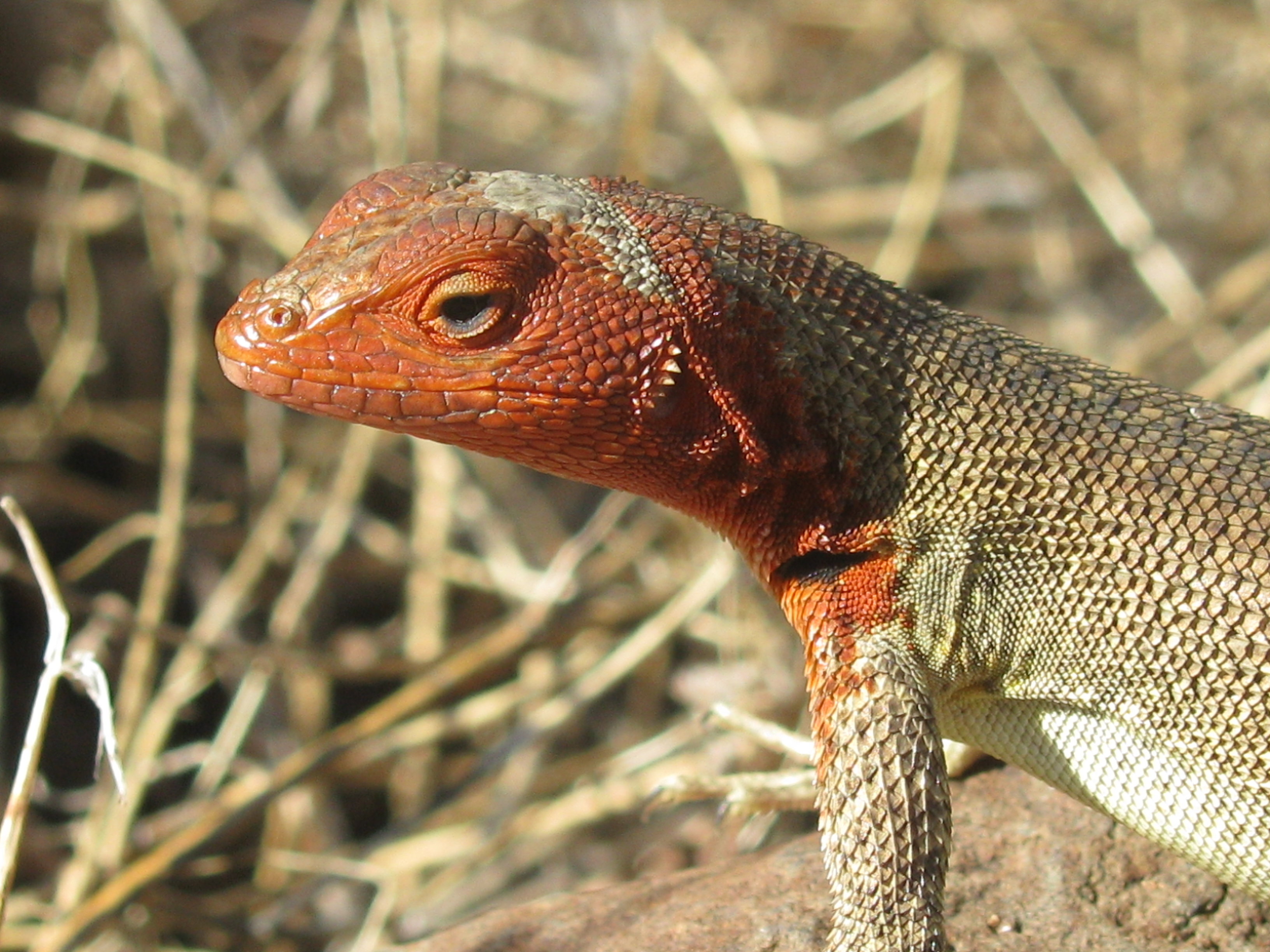 red nosed lizard
